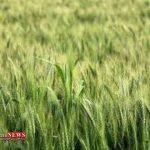 Gandom 28F 150x150 - بارش ها، اراضی زراعی کشت پاییزه گنبدکاووس را سیراب کرد