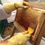 Honey 13M 150x150 - تولید بیش از ۵۰۰ تن عسل درگلستان