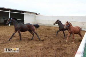 Itnanews shamlu 13M 147 300x200 - اسب ترکمن و سوارکاری محور توسعه پایدار شهرستان گنبد کاووس است+تصاویر