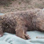 Khers 16 Sh 150x150 - علت مرگ یک خرس قهوهای گلستان در دست بررسی است