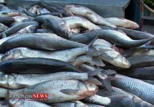 Mahi 2F 300x209 - سه تن ماهی قاچاق در آق قلا کشف شد