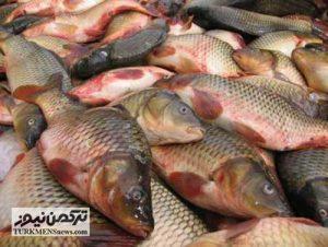 Mahi 3B 300x226 - کشف بیش از یک و نیم تن ماهی دریایی در بندرترکمن