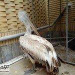 Pelikan 22Az 150x150 - تحویل 3 پرنده مصدوم به محیط زیست غرب گلستان