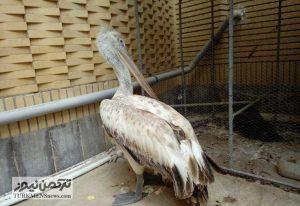 Pelikan 22Az 300x206 - تحویل 3 پرنده مصدوم به محیط زیست غرب گلستان