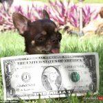 Poopy 1 18T 150x150 - کوچک ترین سگ دنیا ۴۹ مرتبه شبیه سازی شد