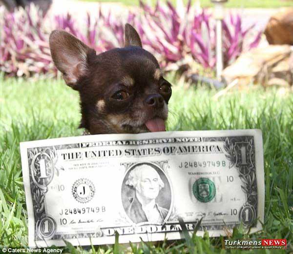 Poopy 1 18T - کوچک ترین سگ دنیا ۴۹ مرتبه شبیه سازی شد
