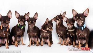 Poopy 18T 300x172 - کوچک ترین سگ دنیا ۴۹ مرتبه شبیه سازی شد