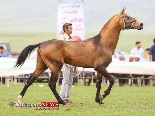 Turkmen horse show kalaleh soofian 5 - برگزاری سیزدهمین جشنواره ملی زیبایی اسب اصیل ترکمن در روستای صوفیان شهرستان کلاله