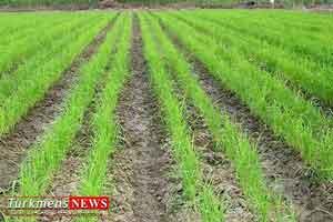 berenj turkmensnews 1 - خشکه کاری برنج در 3 هزار هکتار اراضی کشاورزی گلستان تا سال آینده انجام می شود