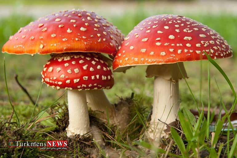 gharch 30O 1 - چگونه قارچ سمی را از قارچ خوراکی تشخیص دهیم؟