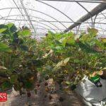 golkhane 5b 150x150 - احداث بزرگترین گلخانه متمرکز کشور در گنبدکاووس