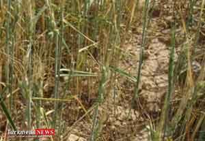 keshavarz 22sh - تسهیلات کشاورزان خسارت دیده گنبدی تا سه سال امهال می شود