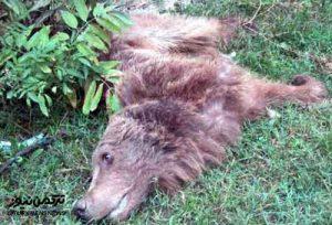 کشته شدن خرس قهوهای در جنگل های بندرگز