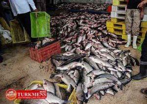 mahi 17d 300x211 - 7500تن ماهی قاچاق در آق قلا کشف شد