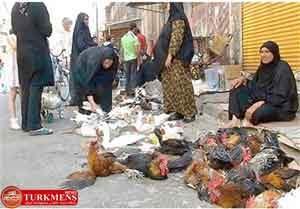 morgh 23d 300x209 - زنده فروشی مرغ عامل انتشار آنفولانزای پرندگان است