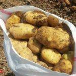 نرخ سیب زمینی گلستان به نفع کشاورز تکان خورد