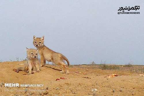 roobah turkmen - روباه ترکمنی به دالان مرگ میرود/امن نبودن دشت اینچه برای «کُرساک»