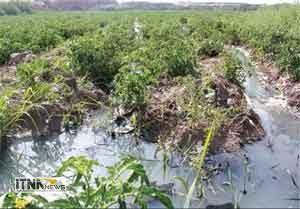sabzi 20a 300x209 - دلیل مسمومیت ۳۰ نفر در روستای اوجابن گرگان مشخص شد