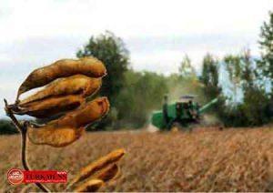 soya 4d 300x212 - خریداری افزون بر 38 هزار تن دانه روغنی سویا در گلستان